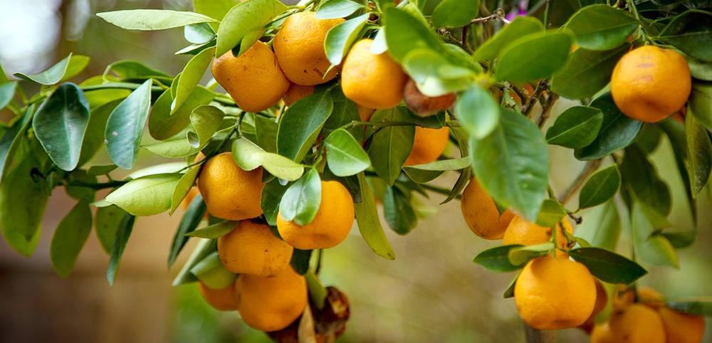 Como injertar un naranjo con tijeras