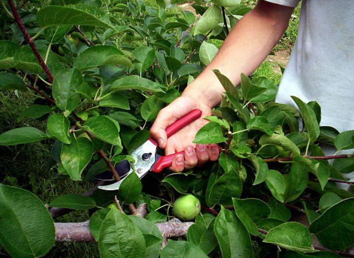 Tijeras para podar un manzano